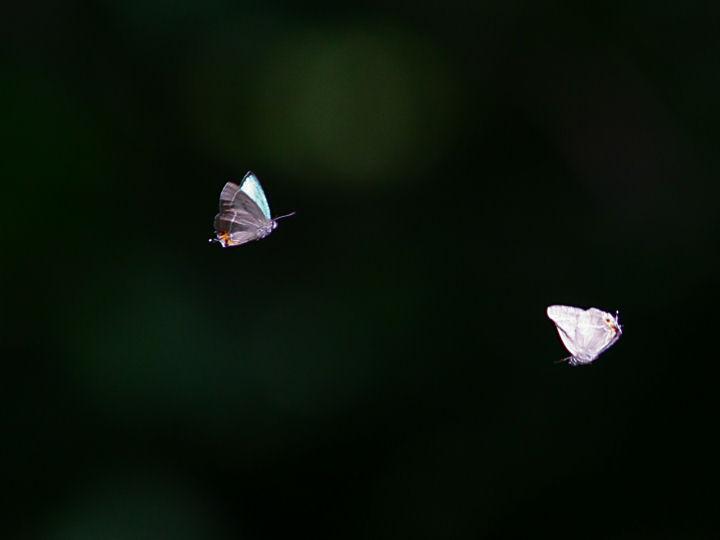 アイノミドリシジミ♂-7D2_7031