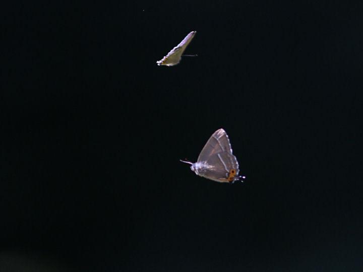 アイノミドリシジミ♂-7D2_7229