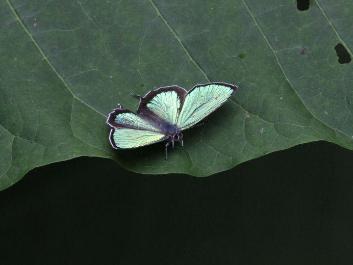 メスアカミドリシジミ♂-7D2_7812