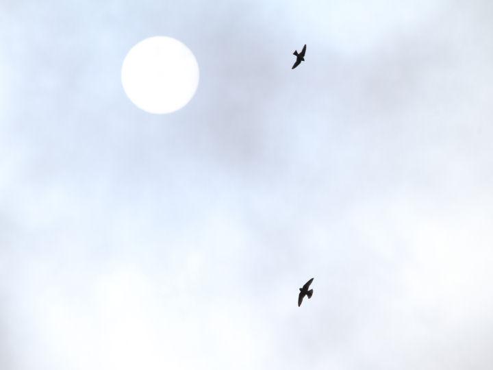 ヒメアマツバメ-IMG_7190