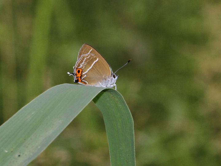 ミドリシジミ♂-IMG_8032