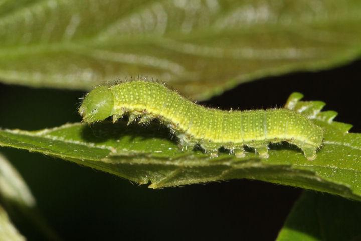 テングチョウ幼虫17mm-IMG_3748
