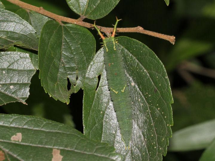 ゴマダラチョウ幼虫40mm-7D2_2779