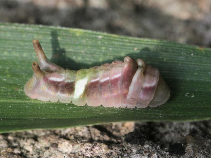 ウラギンシジミ幼虫-7D2_9460