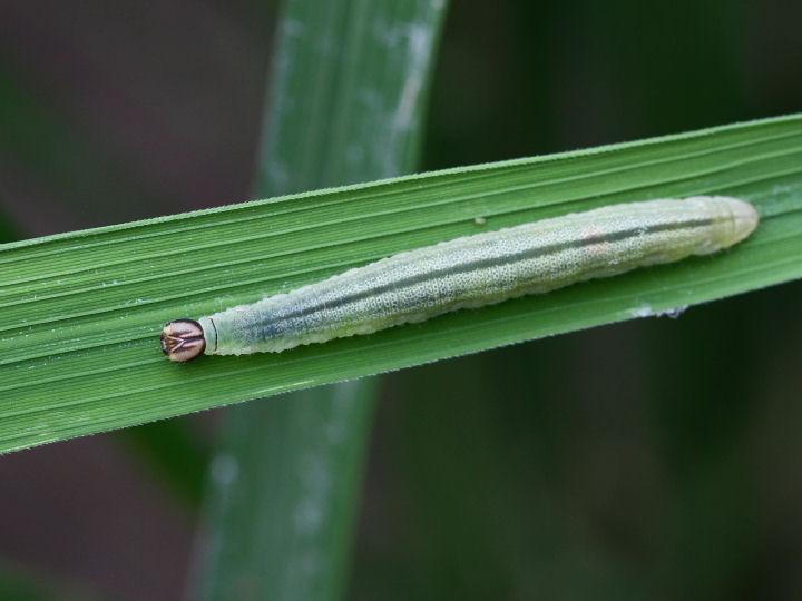 イチモンジセセリ幼虫35mm-7D2_0242