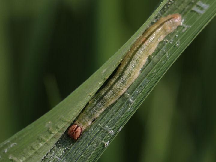 イチモンジセセリ幼虫35mm-7D2_0319