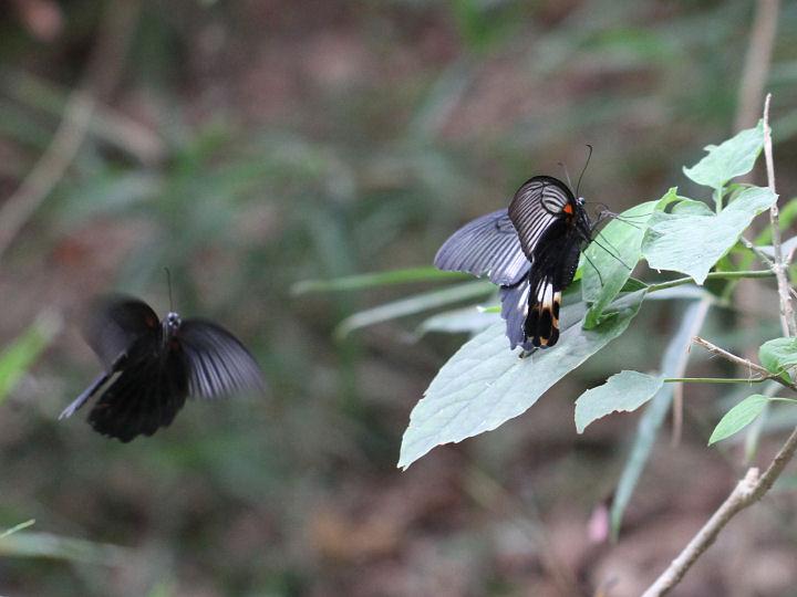 ナガサキアゲハ♂♀-7D2_1099