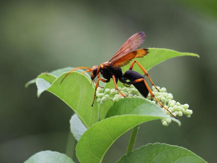 ベッコウクモバチ-7D2_1837