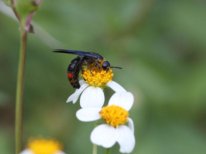 未同定のハチ-IMG_0212