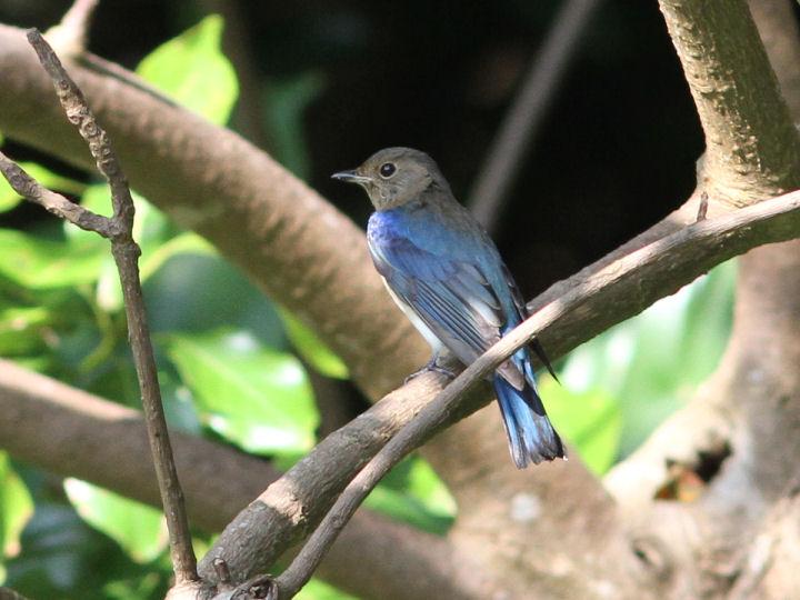オオルリ幼鳥-2013-09-25-IMG_0552