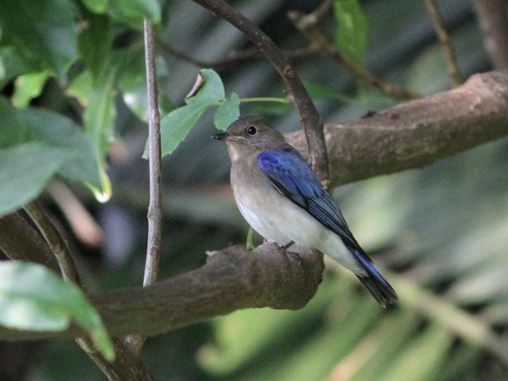 オオルリ幼鳥-2013-09-25-IMG_0613
