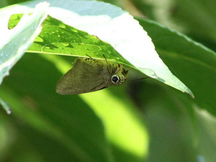 タイワンアオバセセリ-IMG_2711