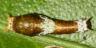 96-シロオビアゲハ幼虫8mm