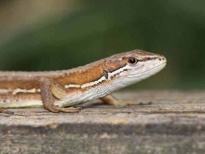 ニホンカナヘビ-7D2_4435