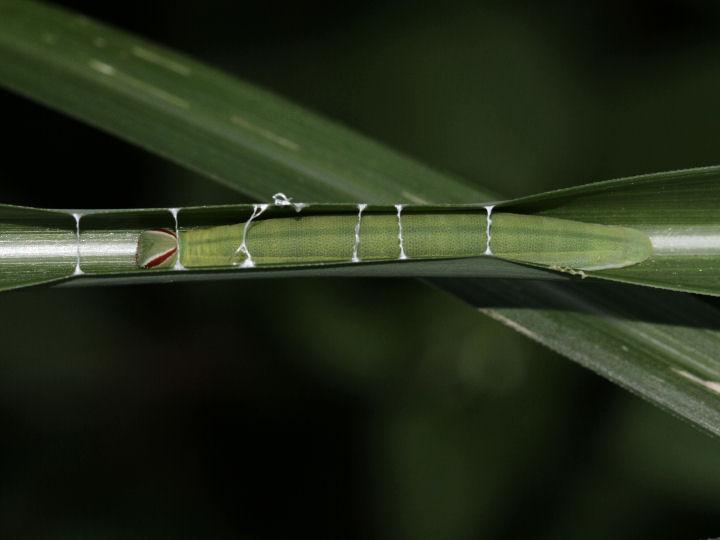 チャバネセセリ幼虫35mm-7D2_4681