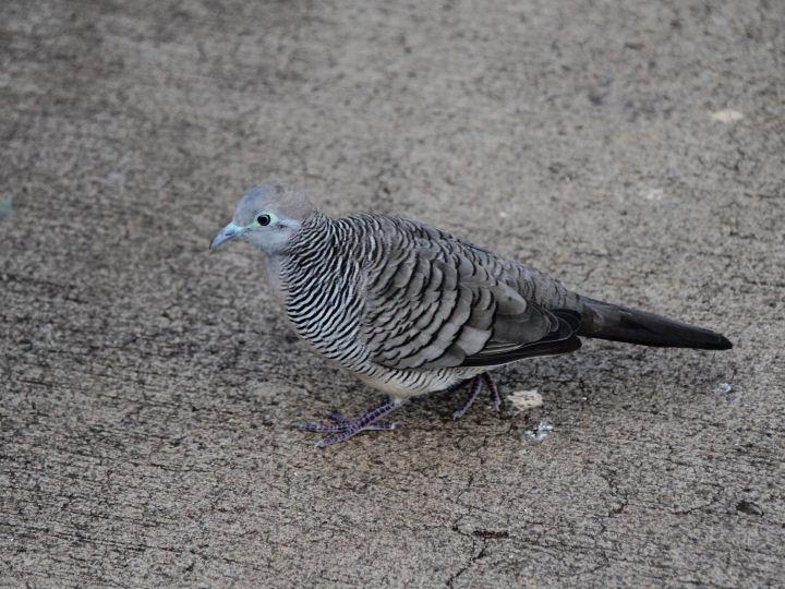 Zebra Dove-IMG_4596