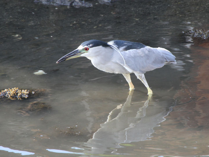 Black-crowned Night-Heron-IMG_4747