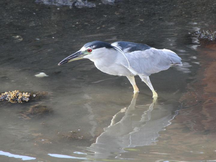 Black-crowned Night-Heron-IMG_4747