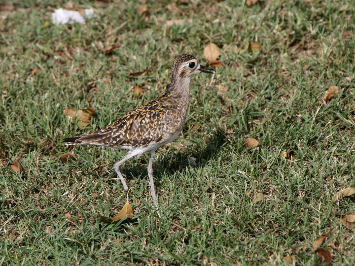 Pacific Golden-Plover-IMG_4343