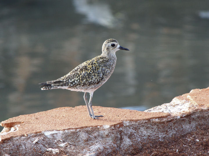Pacific Golden-Plover-IMG_4738
