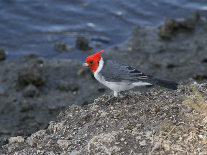 Red-crested Cardinal-IMG_4576