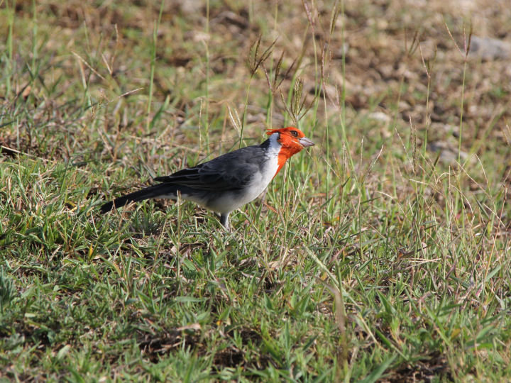 Red-crested Cardinal-IMG_4640