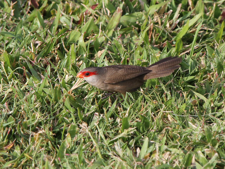 Common Waxbill-IMG_4681