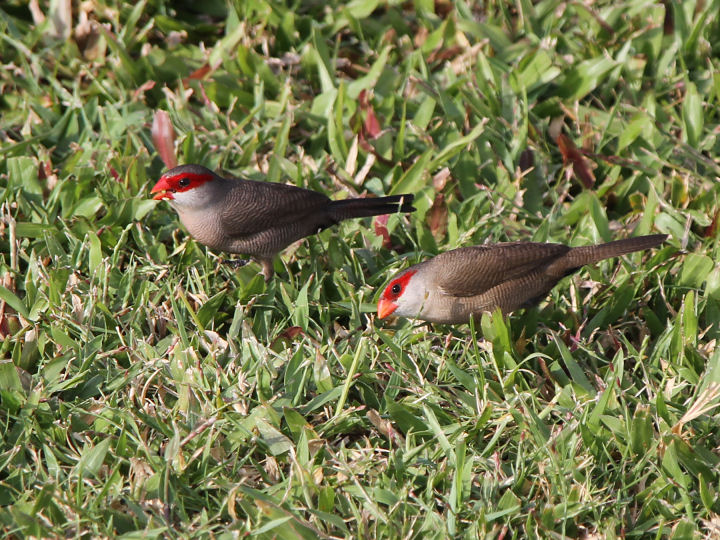 Common Waxbill-IMG_4703