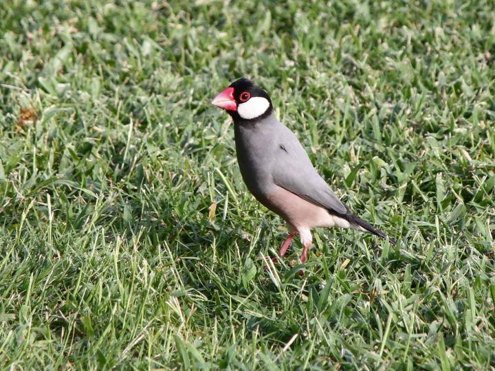 Java Sparrow-IMG_4752