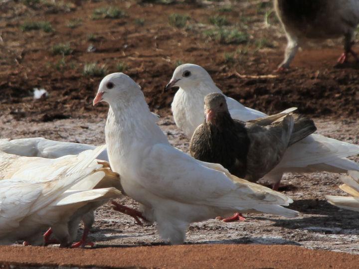 Rock Pigeon-IMG_4369