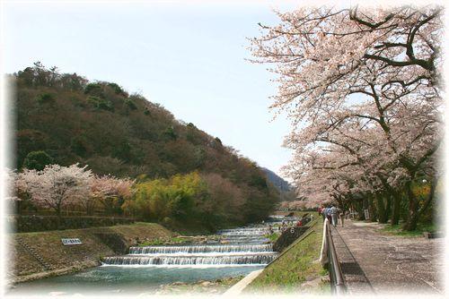 河沿いに桜がいっぱい!