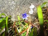 芽室岳頂上花