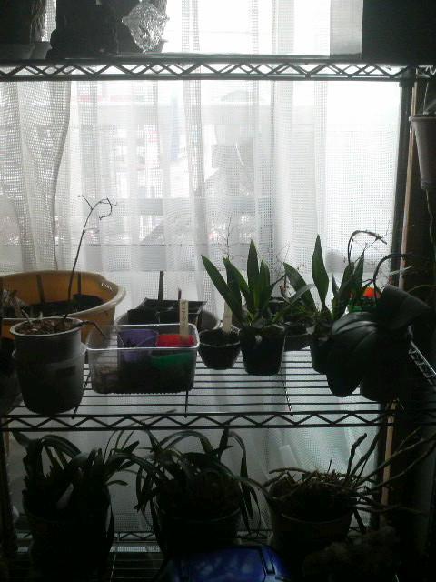 スチール棚の苗とラン