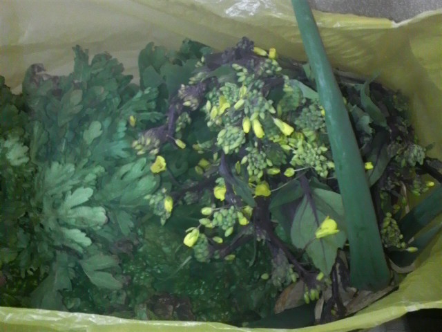 今日採れた紅菜苔