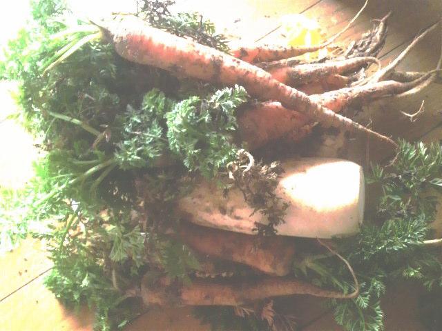 収穫した根菜