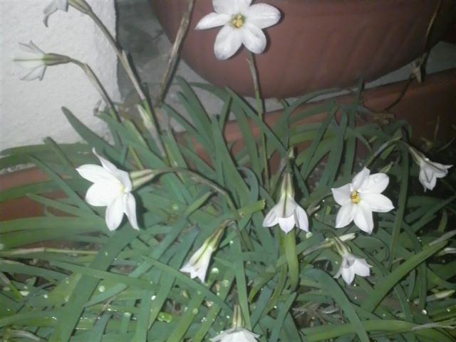 花ニラらしき花