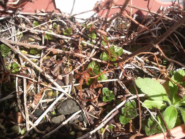 ブラックミントの芽