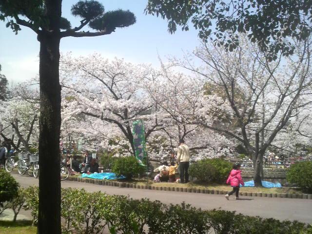 安城公園の桜