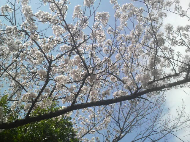 4月3日の桜