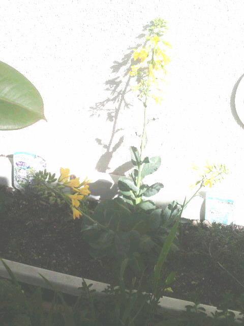 花が咲いてしまった再生キャベツ