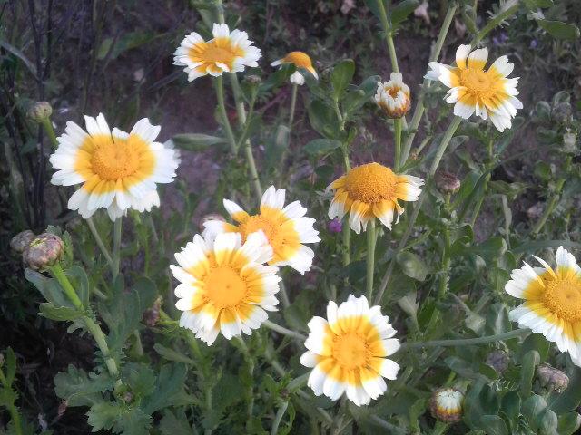 大葉春菊の花
