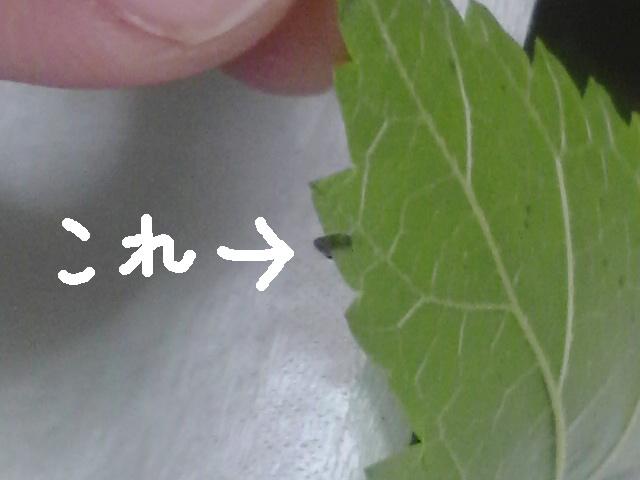 ちっちゃ?い蚕の一齢期幼虫