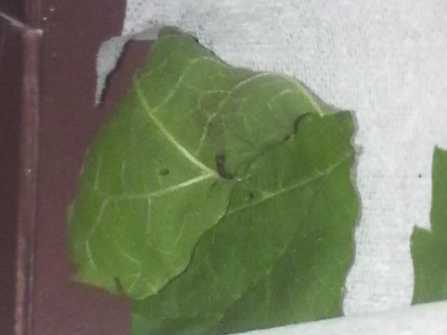 2mmくらいしかない蚕の一齢期の幼虫