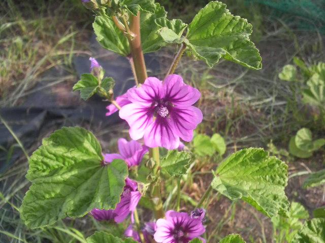 ゼニ葵の花