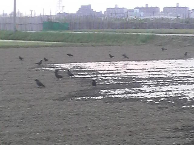 田んぼの水が引かれると集まってきたカラスたち