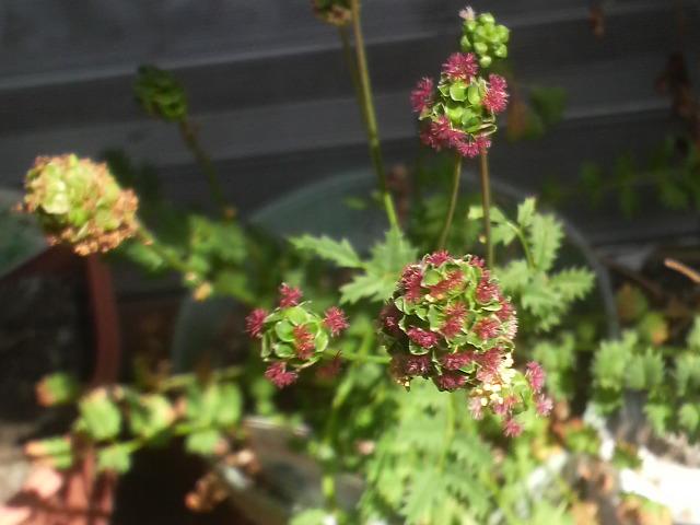 サラダバーネットの花