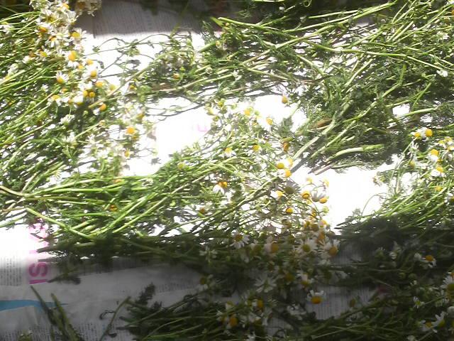 乾燥中のカモミール