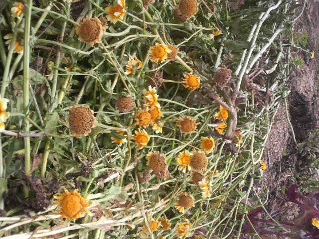 こいじゃった春菊の花