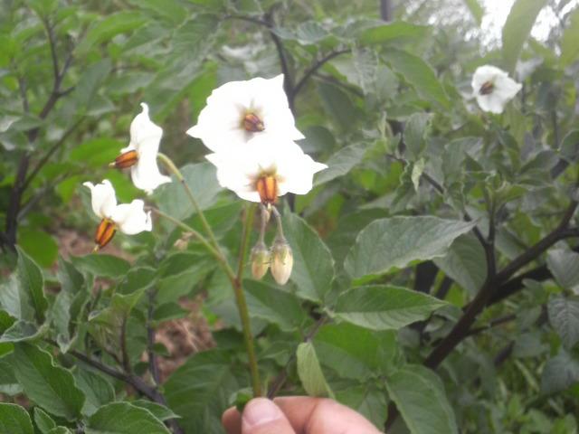 ムラサキのジャガイモの茎と花