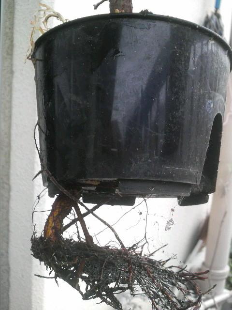 上げ底の植木鉢の排水の穴から根っこを出してたゴムの木